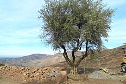 www.BigOliveTrees.com
