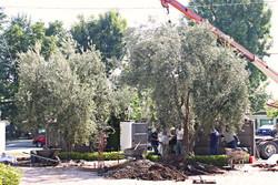 Big Olive Tree