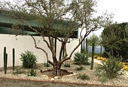 Big Olive Trees
