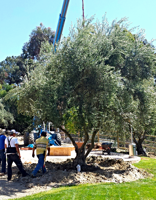 Big Olive Trees - $2,500 - Extra Large - RSF - 5_edited.jpg