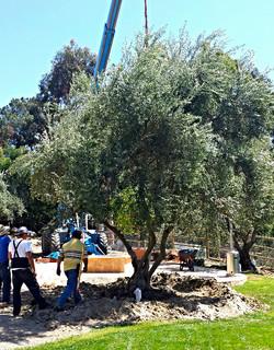 Big Olive Trees - $2,500 - Extra Large - RSF - 5_edited.jpg