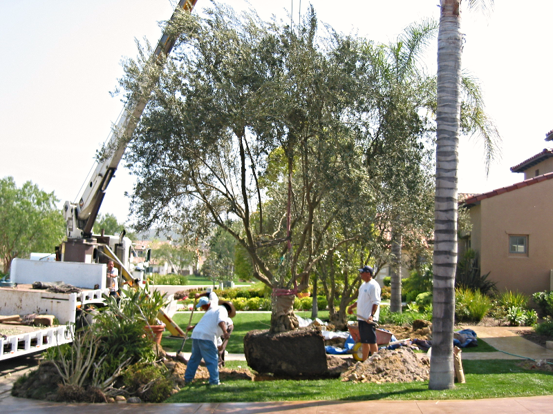 Big Olive Trees - Crosby -