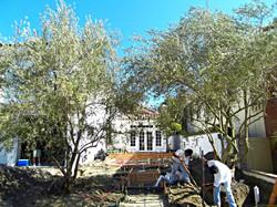 Big Olive Trees - Hunt. Beach