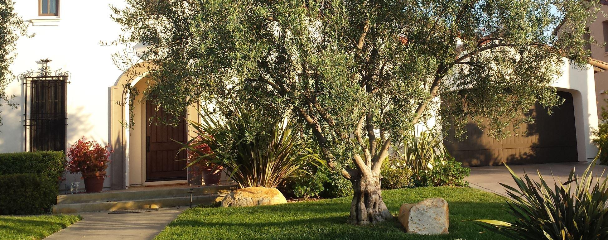 Big Olive Tree 1900-750.jpg