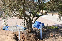 Big Olive Tree -SMALL Murrieta