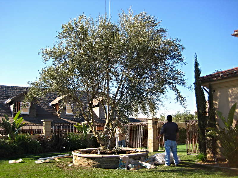 Big Olive Trees - Large - Newport Beach