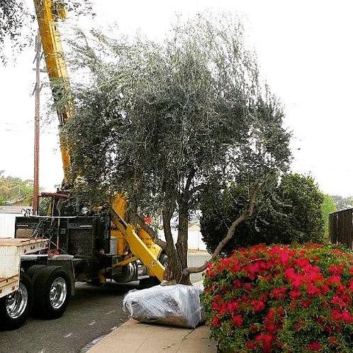 EXTRA LARGE OLIVE TREE