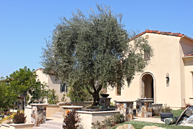 Big Olive Trees - $3000 - The Lakes - RSF3_edited.JPG