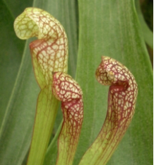 Sweet Pitcher Plant