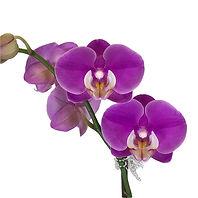 Phal Purple close up.jpg