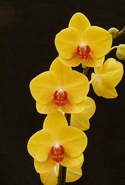 Phal. Tiannong Yellow Nice_Morongo Fest_