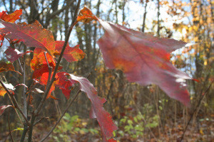A close image of red leaves