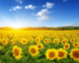 sumflowers field.jpeg