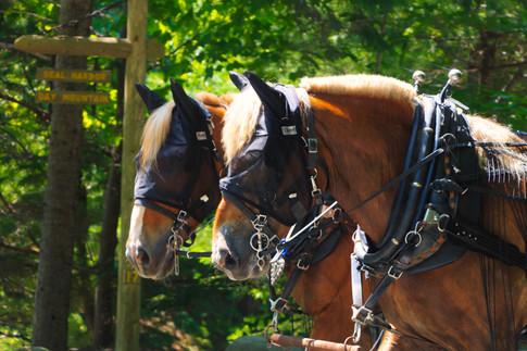 Belgian Horses Of Acadia
