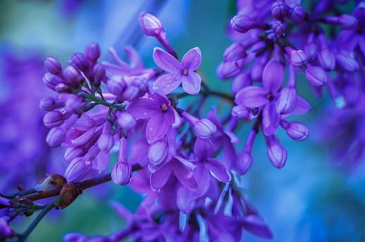 Lilac Blues