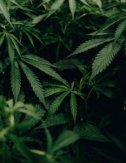 closeup%2520photo%2520of%2520cannabis%25