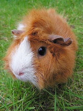 guinea-pig-503678_960_720.jpg