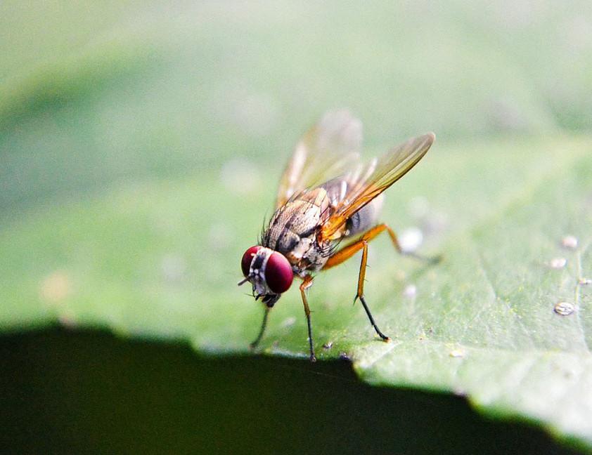 mosca del cerezo