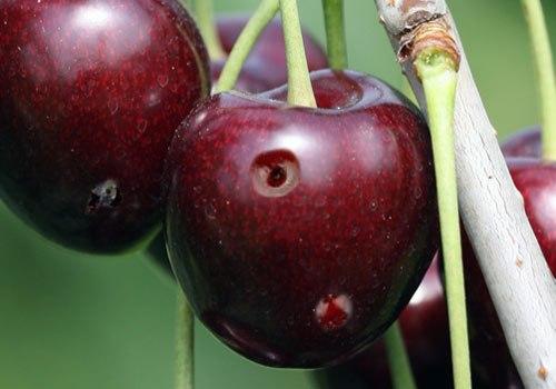 Mosca del cerezo, fruta picada