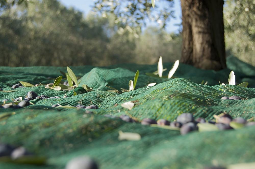 borrassa collita d'olives