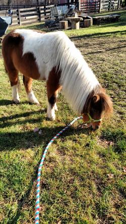 Spirit, our mini horse