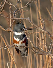 hakiel kingfisher.jpeg
