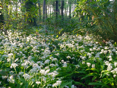 The Wonderful Waft of Wild Garlic in Howth