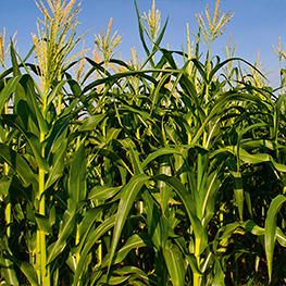 maize.jpg