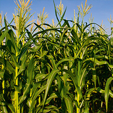 GAME MAIZE SEED MIX (45,000 SEED ACRE PACK)