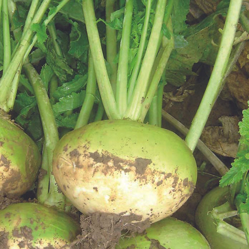 GREEN GLOBE MAINCROP TURNIP SEED (2 KGS PER ACRE)
