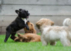 playing-puppies-790638_960_720.jpg