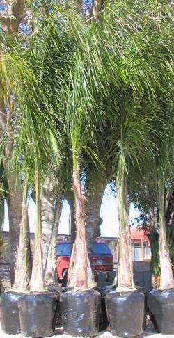 Cocos Plumosa
