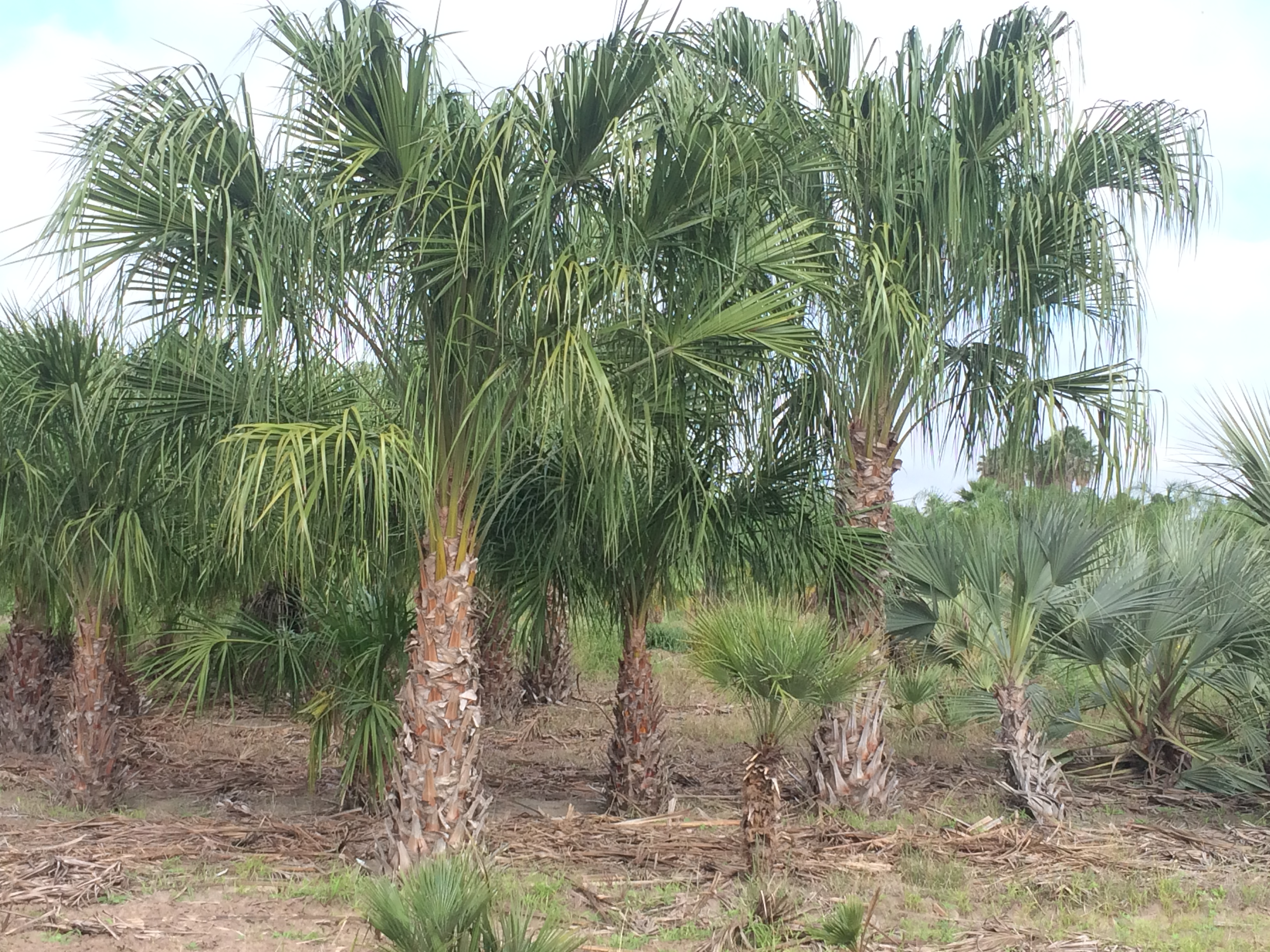 Livistona australis