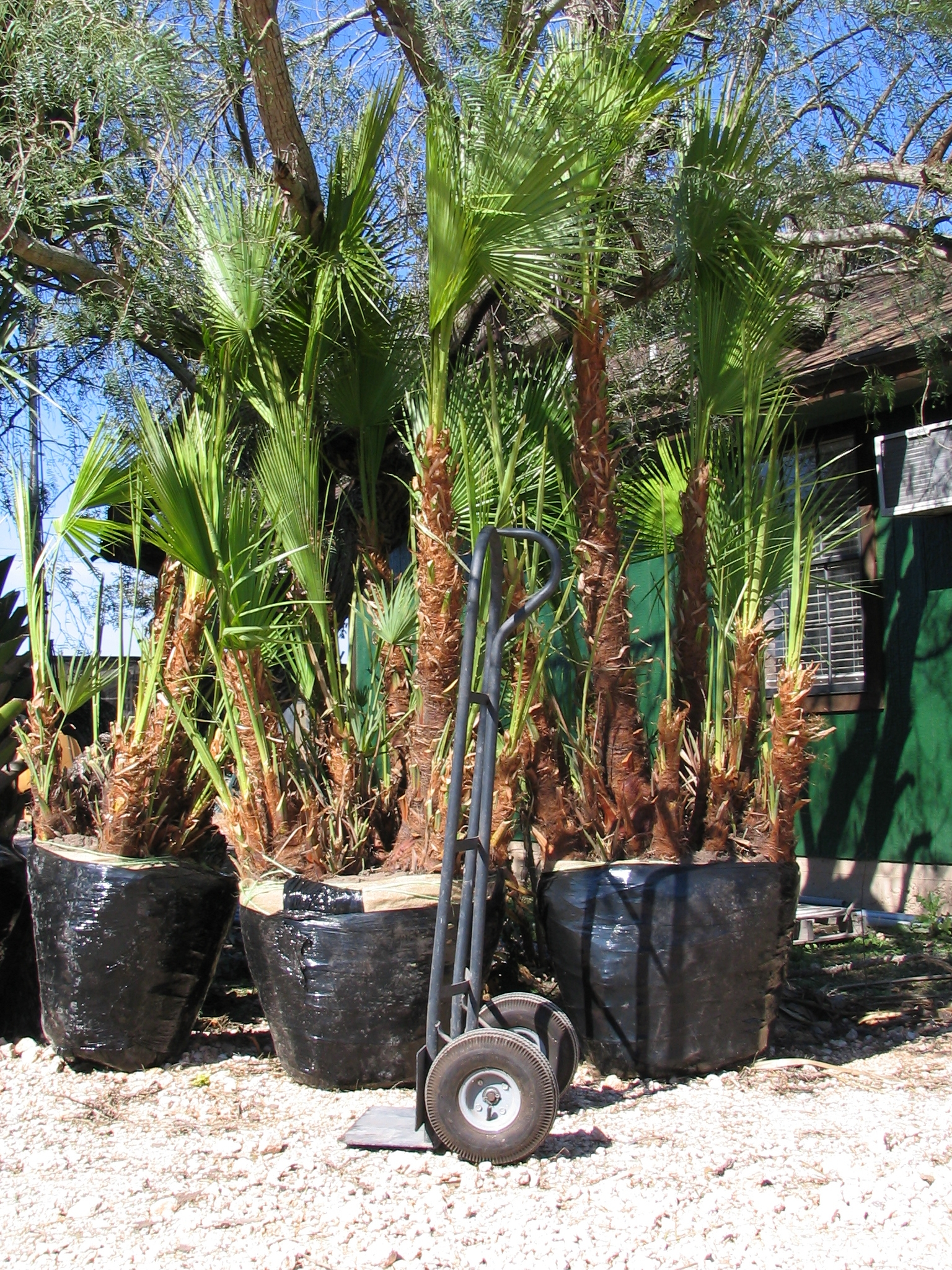 Everglades Palm