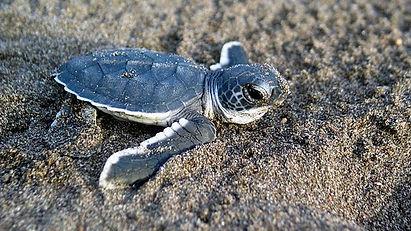 Baby_Sea_Turtle nature guardians.jpg