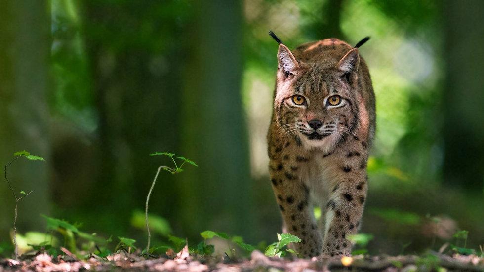 lynx nature protection.jpg