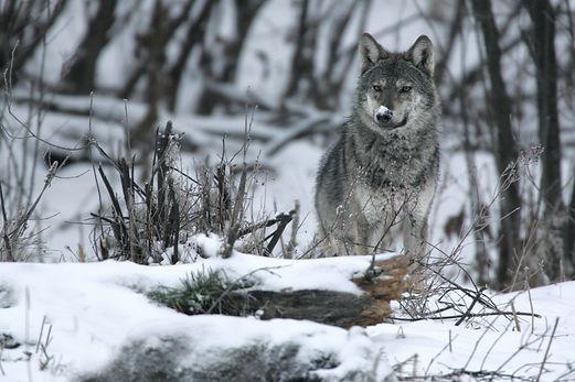 wolf Bieszczady nature park.jpg