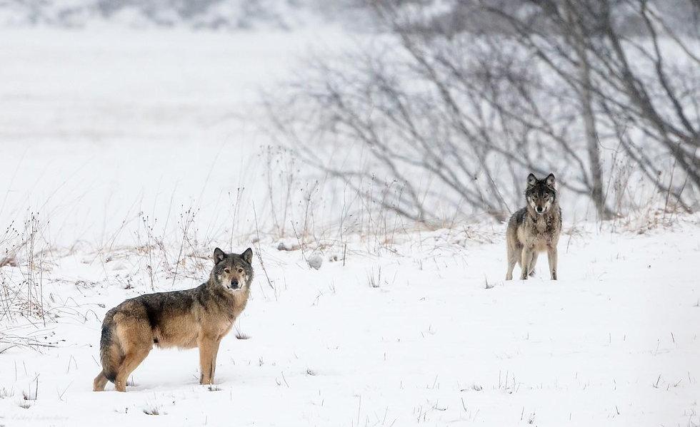 loups protection de la nature.jpg