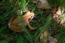 grenouille rousse.jpg