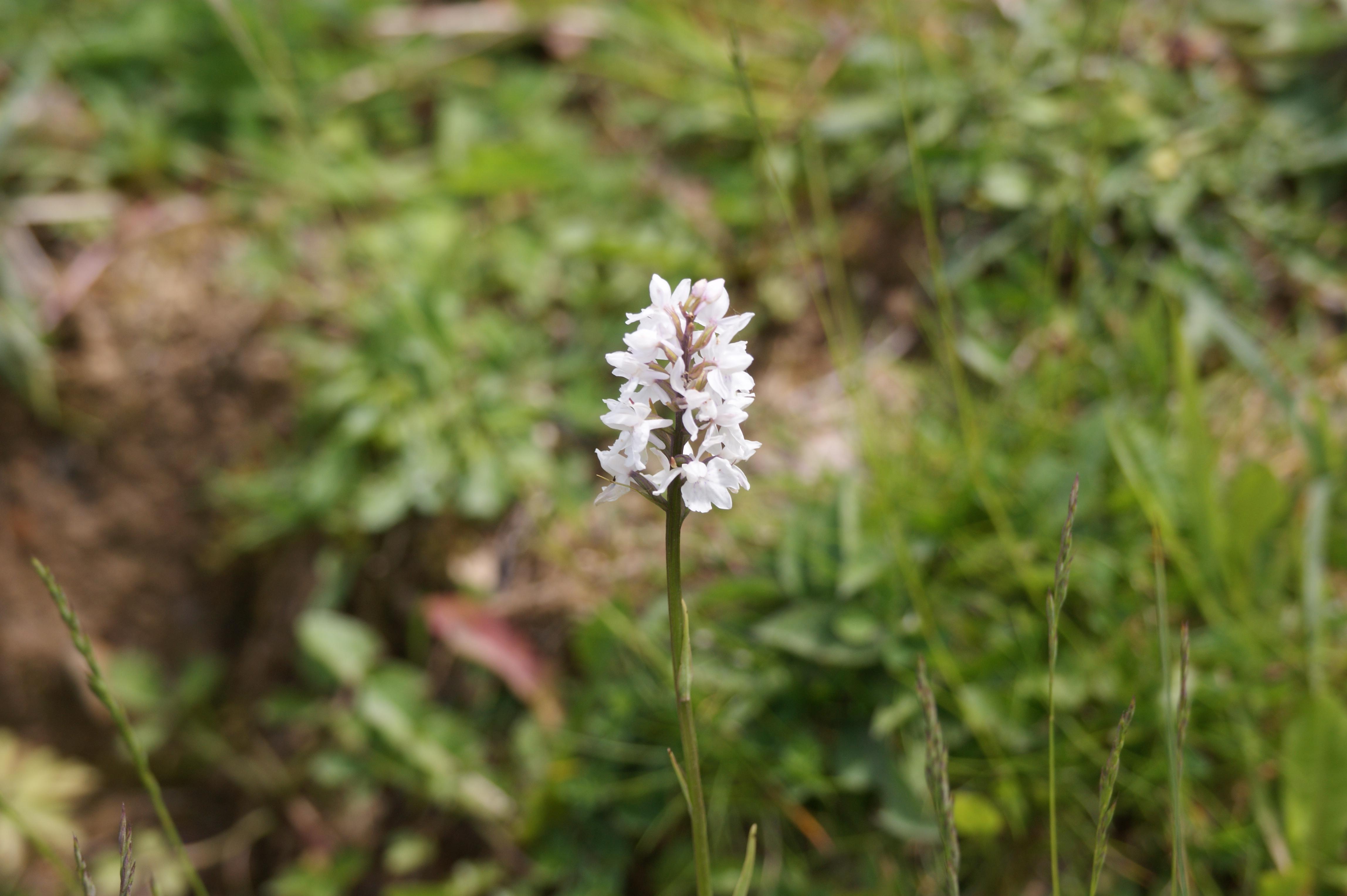 Orchis tacheté blanc