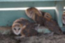 Effraie des clochers, Tyto alba