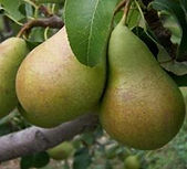 Conference Pear .jpeg