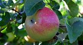 Boskoop Apple.png