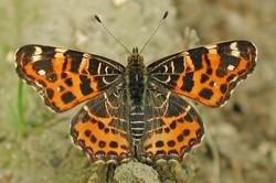 Variation of butterflies