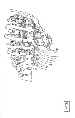 Study for a ribcage II