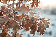 oak-leaves.jpg