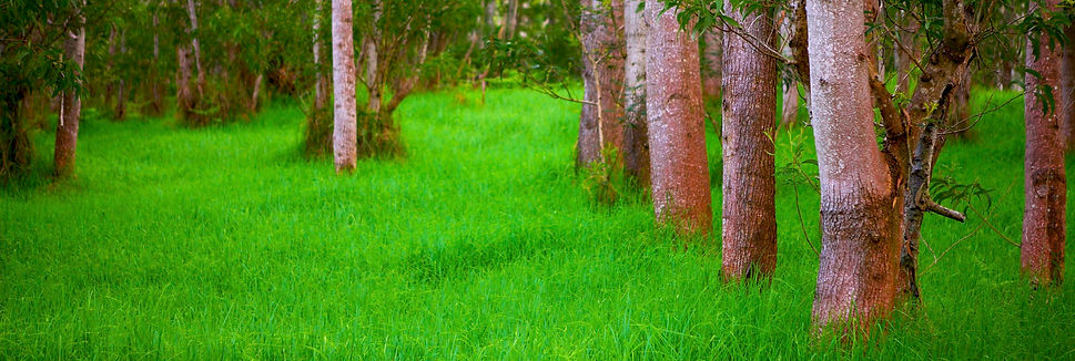 Kipuka Ki Orange Lichen On Koa Trees