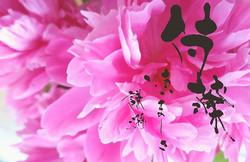 【芍薬】_花言葉…慎ましさ、謙遜、はじらい、はにかみ…など_*_*_大好きな芍薬