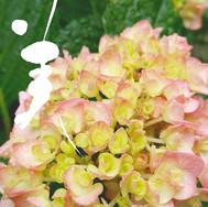 【美】__紫陽花キターー\(・∀・)/_*_*_雨の中、生き生き色付き、咲き始め