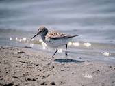 Just Like The Sandpiper